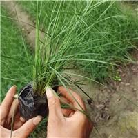 粉黛乱子草成都水生植物批发基地杯苗现货