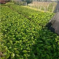 四季常青绿化灌木常年批发价供应重瓣扶桑厂