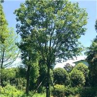 成都朴树基地-朴树批发-成都苗木