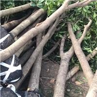 大量供应占地桂花树