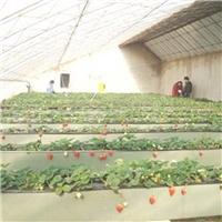硕丰草莓种植A字架优品草莓立体栽培槽报价