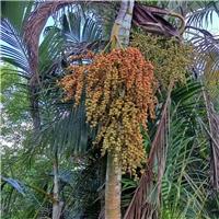 散尾葵种子  种子批发 种子价格