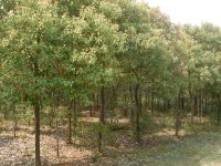 香樟供应基地|香樟批发|香樟报价|香樟苗圃