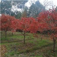 红枫生产基地|红枫苗圃|红枫供应|红枫批发