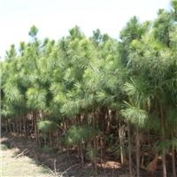 湿地松苗圃|湿地松生产基地|湿地松报价