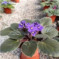 山东非洲堇基地非洲紫罗兰