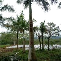 苗木场地长期供应优质大王椰子适合花坛栽植