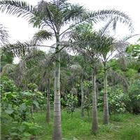 榕翔苗木基地全年供应形态优美狐尾椰子