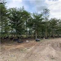 树形强健小叶榄仁乔木基地促销供应