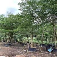 树形强健小叶榄仁乔木基地促销供应厂