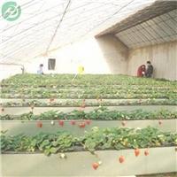 磐石草莓A字架 立体种植槽-草莓种植必备
