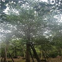 漳州苗木基地长年供应优质菩提榕品质优良