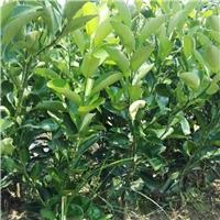 桔柚苗原产地直供品种正宗