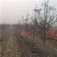 景观用8公分梨树 8公分梨树价格 10公分梨树