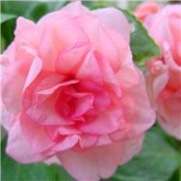 仙桃常青花卉园艺大量供应仙桃山茶花