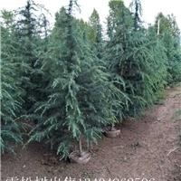 大量雪松树出售13404962596