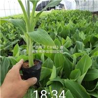 香蕉苗、西贡粉蕉苗、广粉蕉苗、抗病蕉苗
