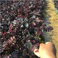 红花��木在八月末云南地区有好货吗