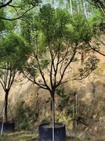 常绿大乔木全冠香樟近期质量高价更优