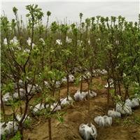 精品苹果树苗成活率高品种纯正