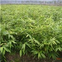 优质毛竹,楠竹袋苗