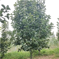 低价供应9cm/10cm玉兰树