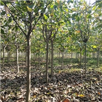 低价供应6cm玉兰树