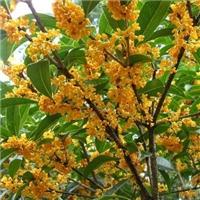 桂花树批发价格及种植经验
