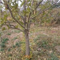 大石榴树,15公分山西石榴树苗12公分石榴树