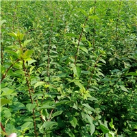 连翘种苗,山西药用连翘树苗种植销售基地