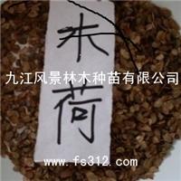 九江大量供应木荷苗木低价出售