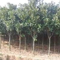 九江大量批发广玉兰树价格优惠
