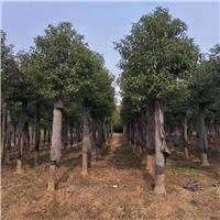 湖南苗木香樟,香樟价格移栽香樟树厂