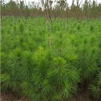 都匀湿地松苗供应-美洋洋绿化