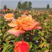 种植基地常年直供各类月季花卉丨