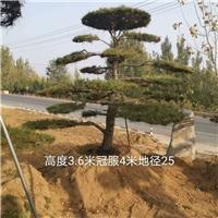 地径25造型油松