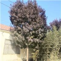 河北秋紫白蜡供应基地12公分秋紫白蜡价格