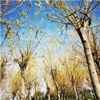 阜阳造型女贞苗木种植销售