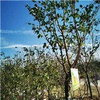 阜阳腊梅工程苗木种植销售