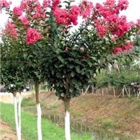 阜阳紫薇苗木种植销售