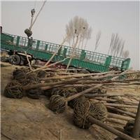 大规格10-12公分土球胡杨树苗出售
