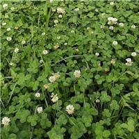广东广州白三叶草种四季多年生草坪草籽