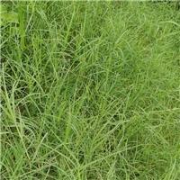 广东广州狗牙根种子护坡固土草籽
