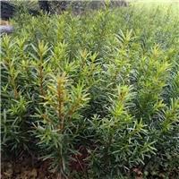 曼地亚红豆杉6年苗