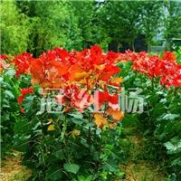 河道美化彩色树种冠红杨