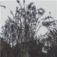 丛生朴树自产自销种植基地