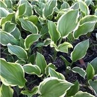 金边玉簪的栽培技术―北方常绿
